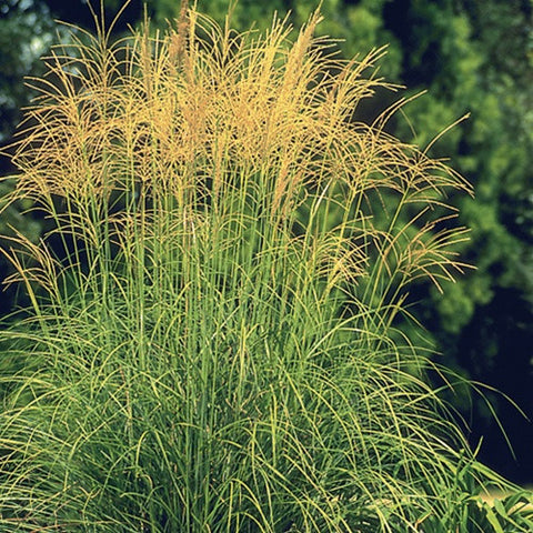 Japanese Silver Grass Arabesque