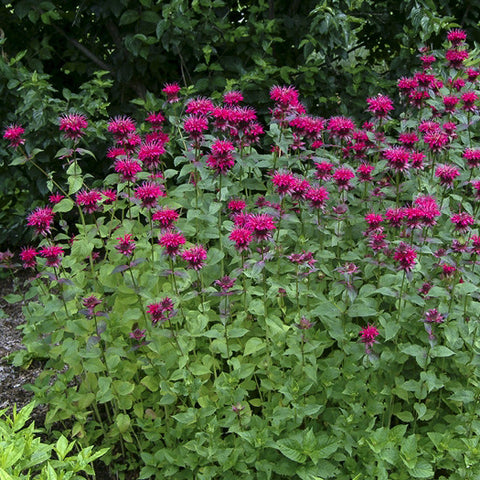 Bee Balm 'Raspberry Wine'