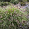 Red Head Fountain Grass
