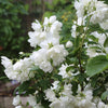 'Snowbelle' Mock Orange