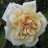 Reve d'Or Climbing Rose