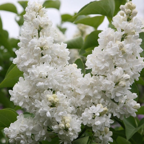 Madame Lemoine French Lilac