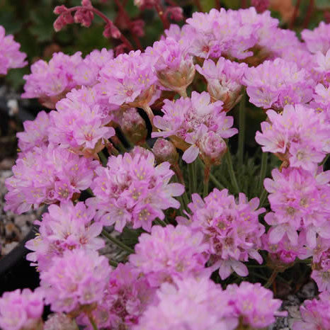 Armeria 'Sea Thrift'