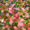 Barberry 'Crimson Pygmy'