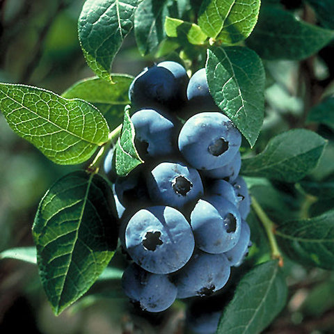 Blueberry 'Chippewa'