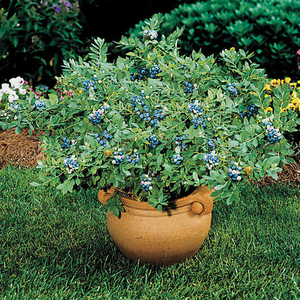 Blueberry 'Sunshine Blue'