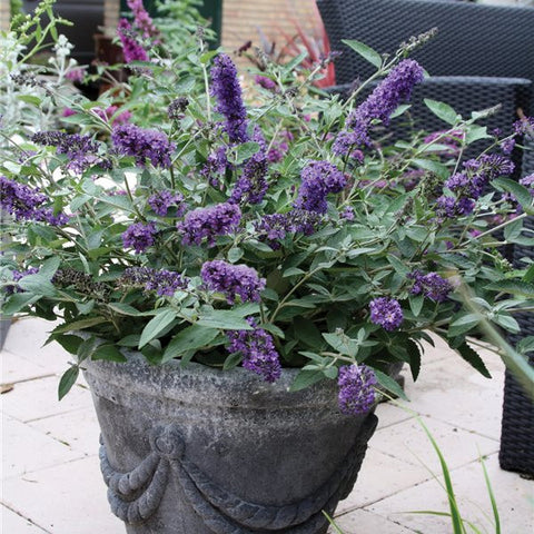 Butterfly Bush 'Blue Heaven'