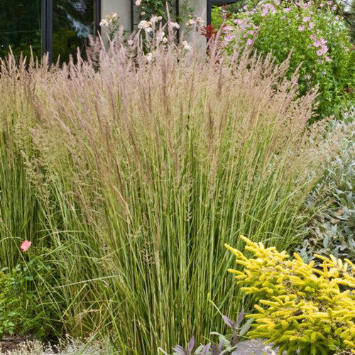 Feather Reed Grass 'Eldorado'