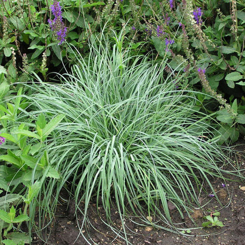 Carex 'Blue Zinger Sedge' Grass