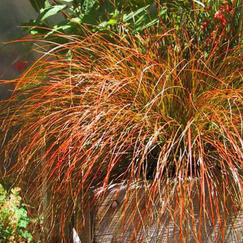 Carex 'Prairie Fire'