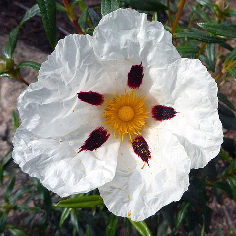 Brown-Eyed Rock Rose