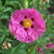 Rock Rose - Cistus purpureus