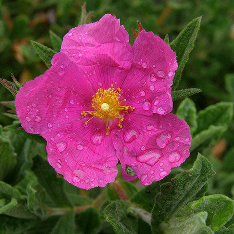 Sunset Rock Rose