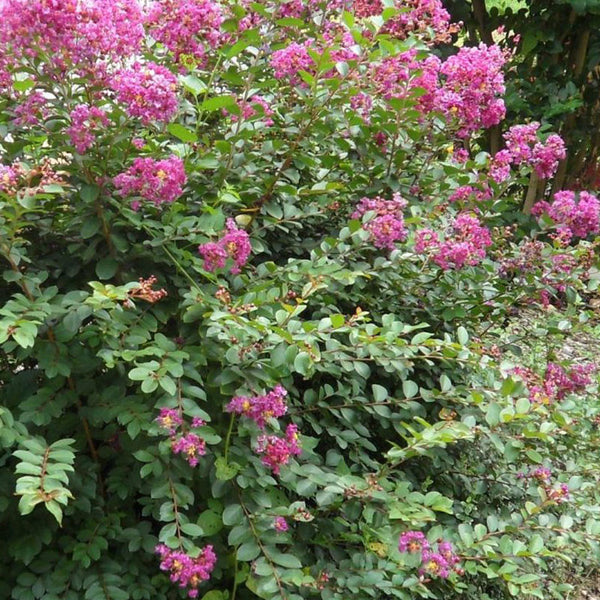 Crape Myrtle 'Velma's Royal Delight'