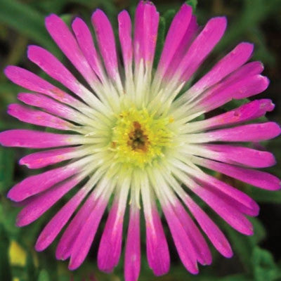 Jewel of Desert Rosequartz Ice Plant