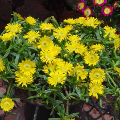 Wheels of Wonder™ 'Golden Wonder' Ice Plant