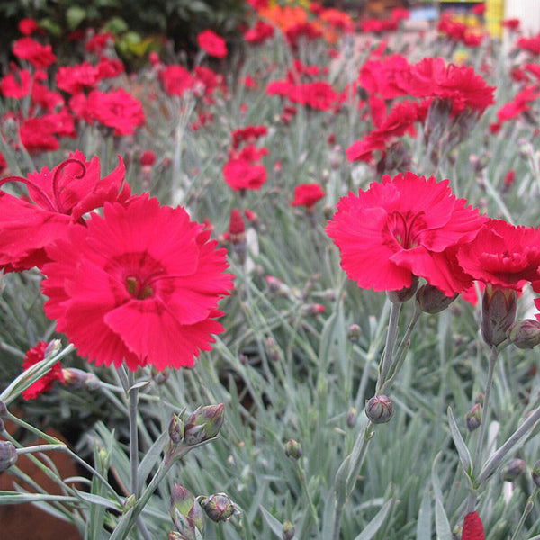 Dianthus 'Fire Star' For Sale Online