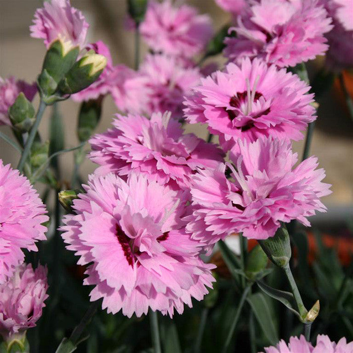 Dianthus Pop Star