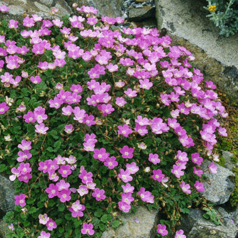 Erodium 'Bishop's Form'