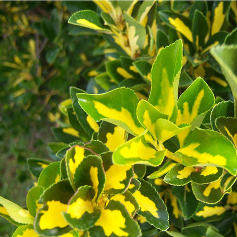 Euonymus 'Gold Spot'