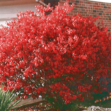 Dwarf Burning Bush For Sale Online Greener Earth Nursery
