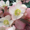 Helleborus Gold Collection® Mahogany Snow