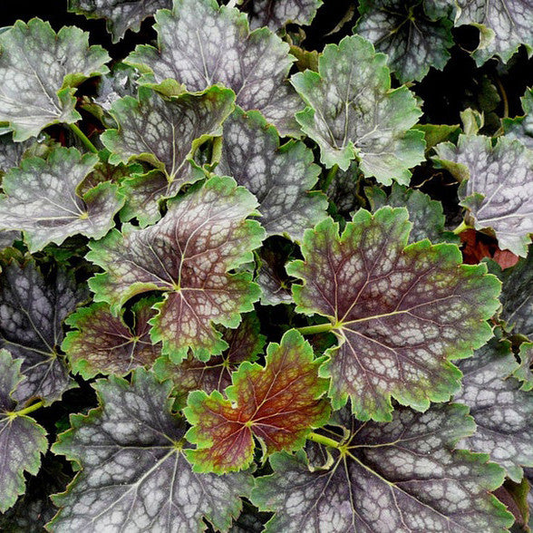 Heuchera 'Marvelous Marble'