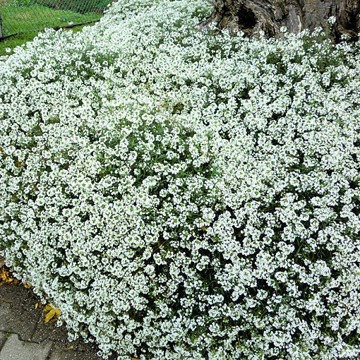 Compact Candytuft