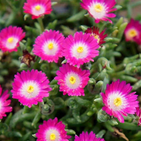 Jewel of Desert Amethyst Ice Plant