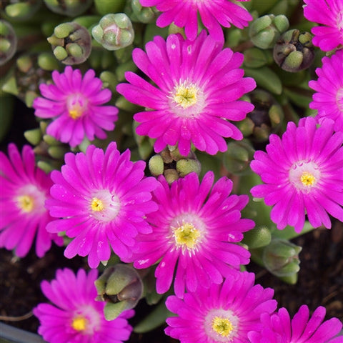 Jewel of Desert Opal Ice Plant