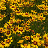 Coreopsis 'SunKiss'