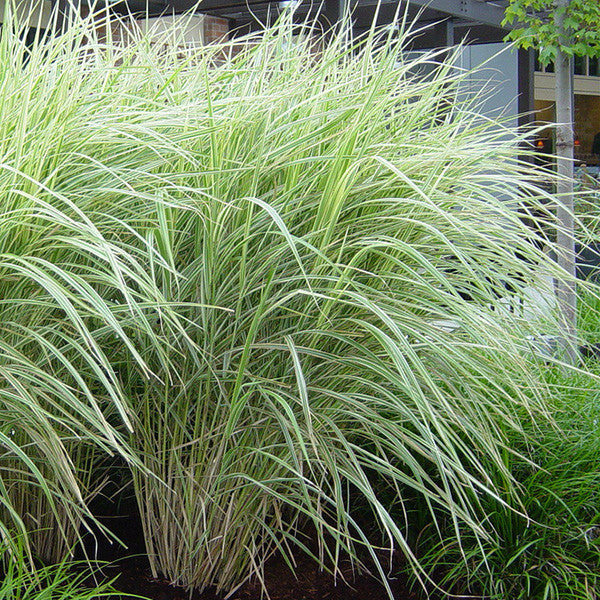 Variegated japanese silver grass for sale online greener for Variegated grass plant