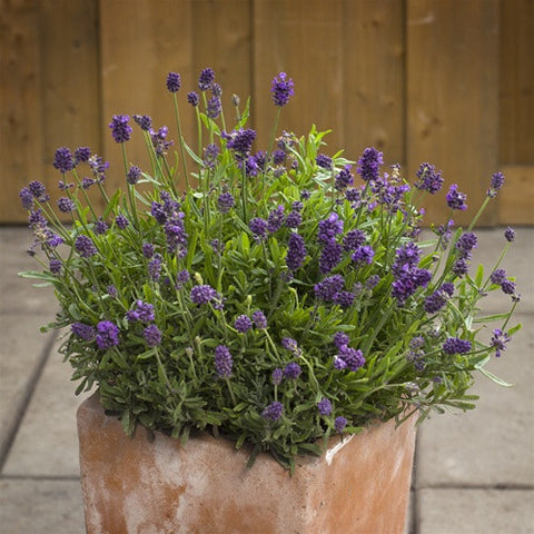 Mini Blue English Lavender