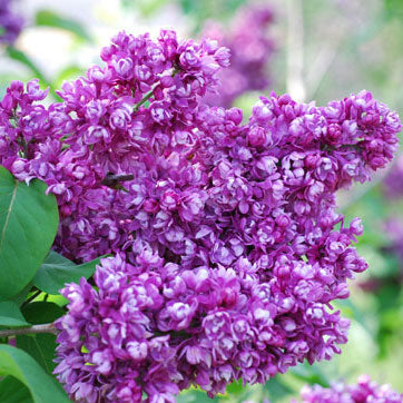 My Favorite Lilac
