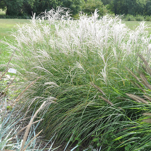 Dwarf Maiden Grass 'Little Kitten'
