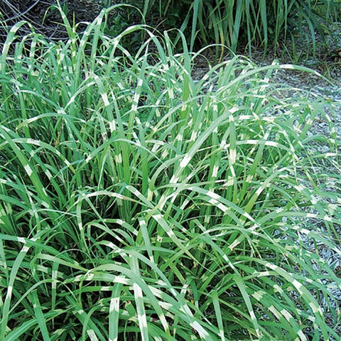 Miscanthus Super Stripe Maiden Grass