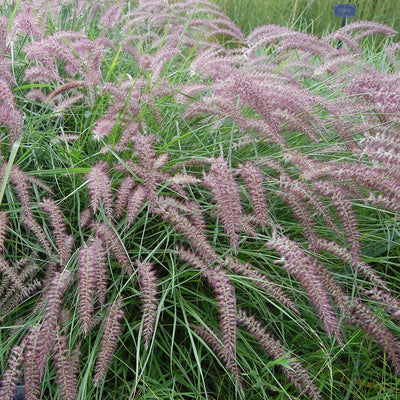 Oriental Fountain Grass 'Karley Rose'