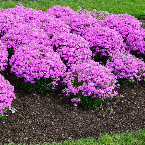 Phlox 'Forever Pink'