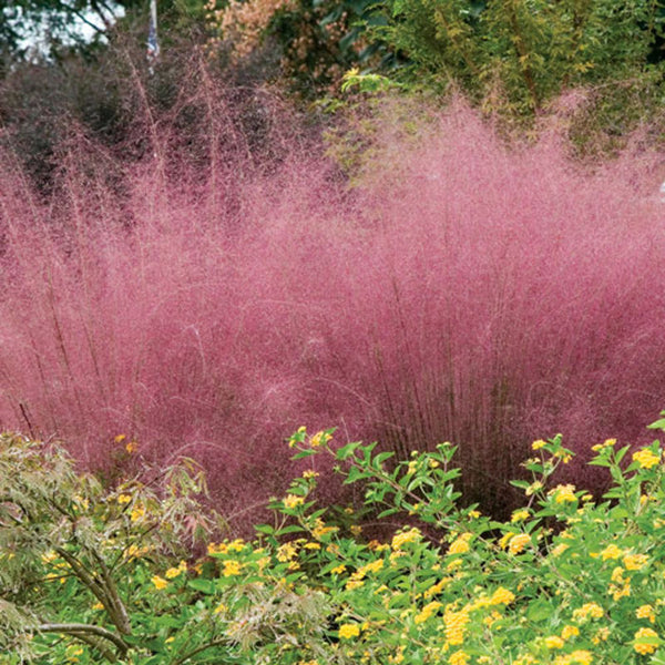 Pink Muhly Grass For Sale Online