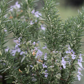 Creeping Rosemary