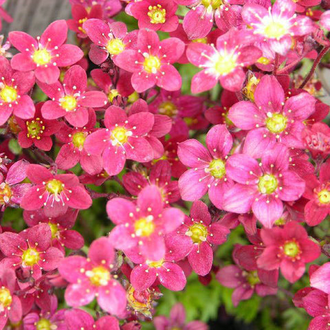 Saxifraga 'Highlander Red'