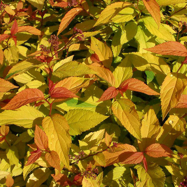Spirea Gold Flame