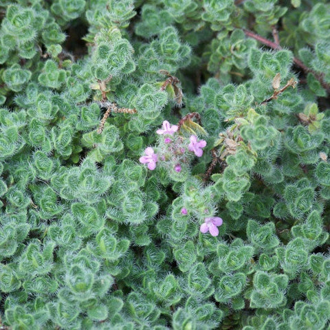 Woolly Thyme