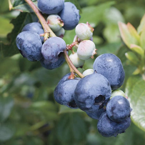 Blue Gold Blueberry