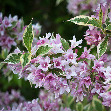 Weigela 'Variegated'