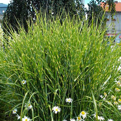 Zebra grass for sale online greener earth nursery for Large garden grasses