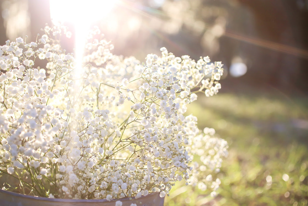 How to grow gypsophilia baby's breath