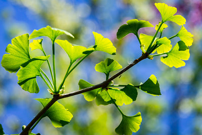 Ginkgo Biloba Extract T/R