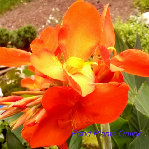 Chiquita Punch Canna<br>Dwarf Orange Punch Canna