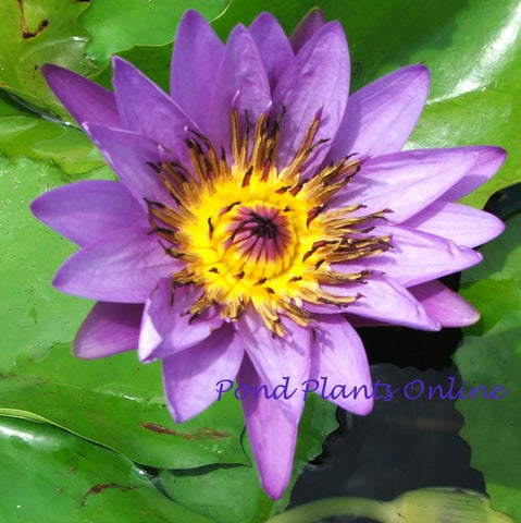Purple Tropical Water Lily | Grower's Choice